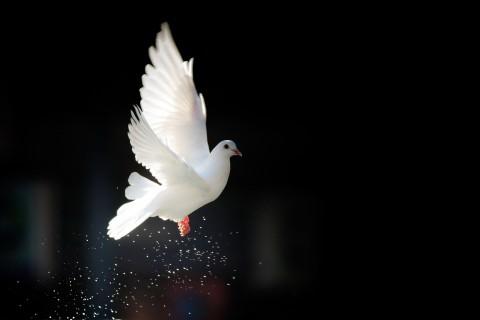 飞翔的和平鸽