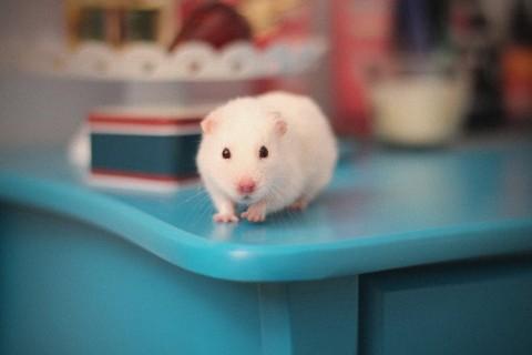 手机壁纸 动物壁纸 桌上小白鼠