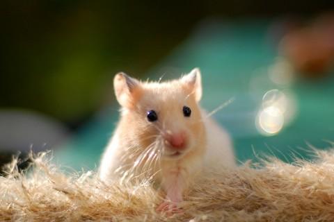 手机壁纸 动物壁纸 可爱仓鼠