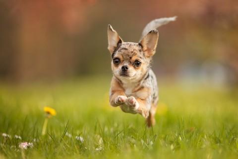 手机壁纸 动物壁纸 尽情奔跑的小狗