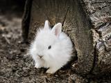 呆萌小白兔
